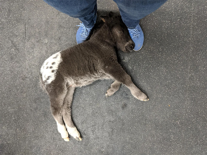 cute pets at the vet little horse sleeping