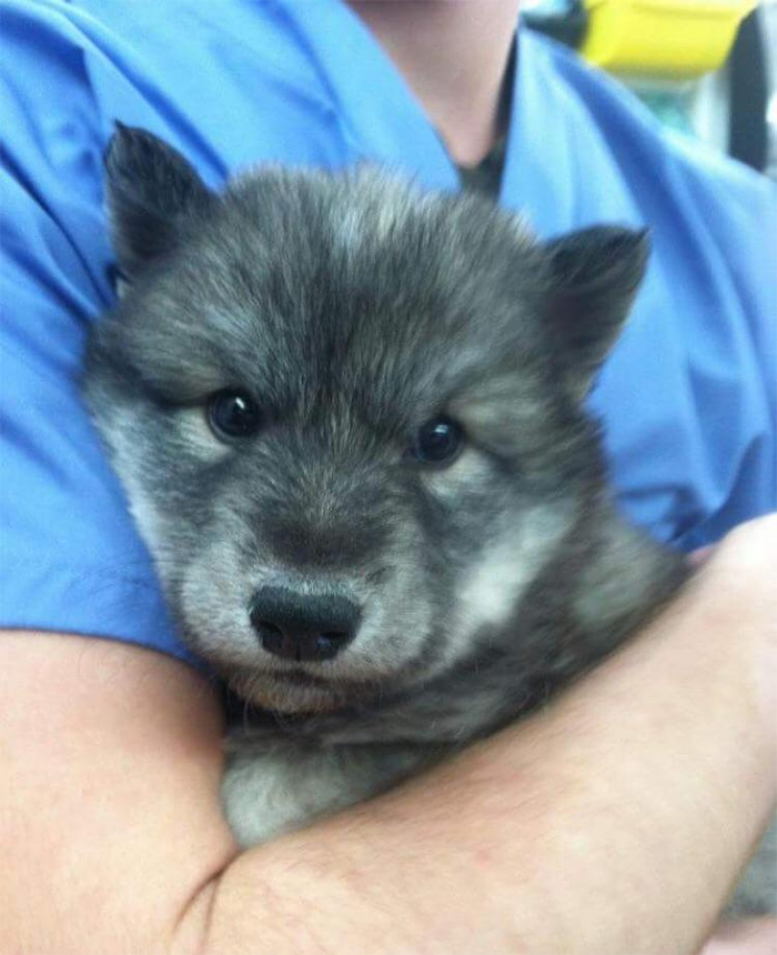 cute pets at the vet wolf pupper
