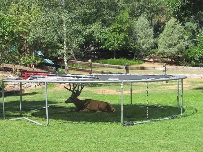 deer taking shade under trampoline
