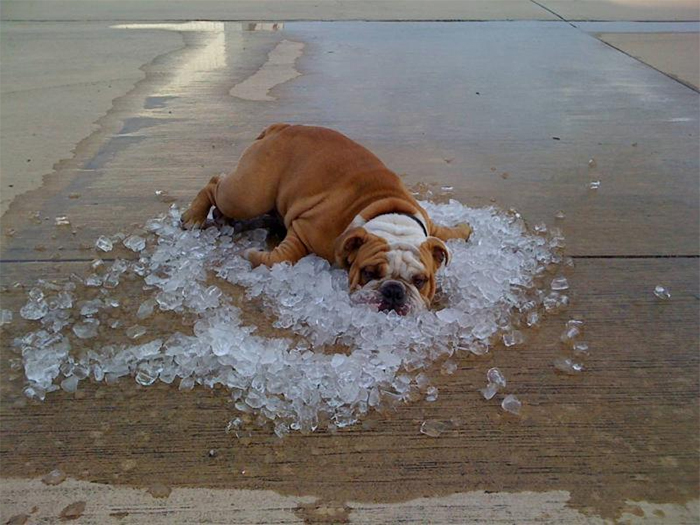 dog cooling off ice rocks