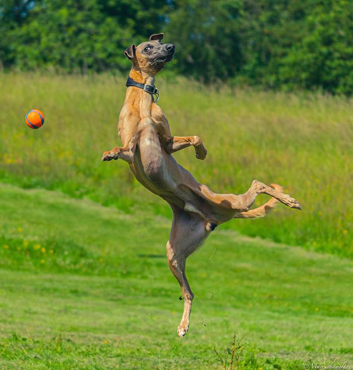 dorky pup chasing ball funny pose