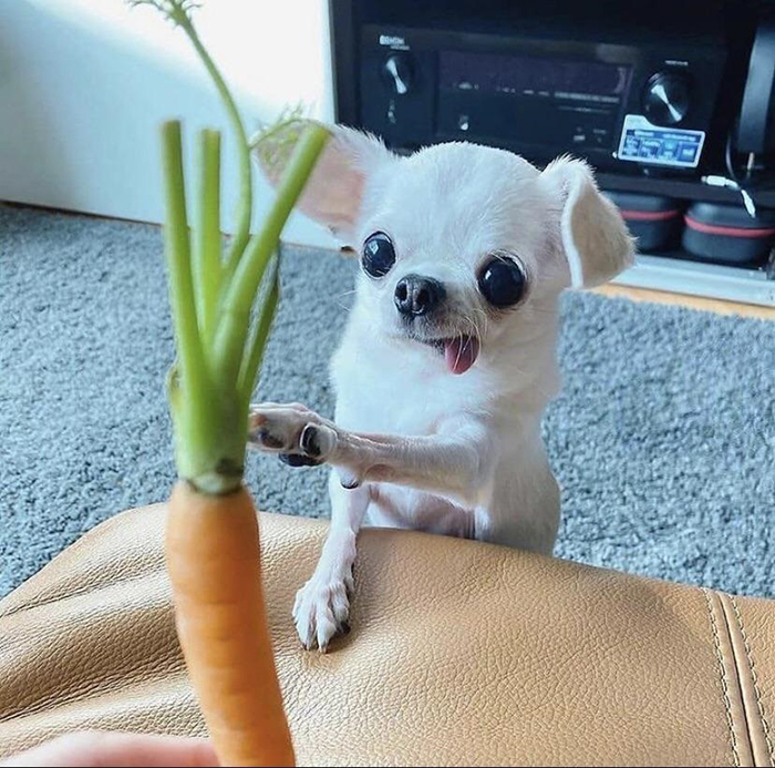 dorky pup reaching out to a carrot