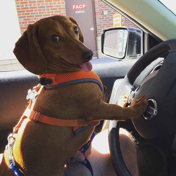 dorky pup sitting on driver's seat