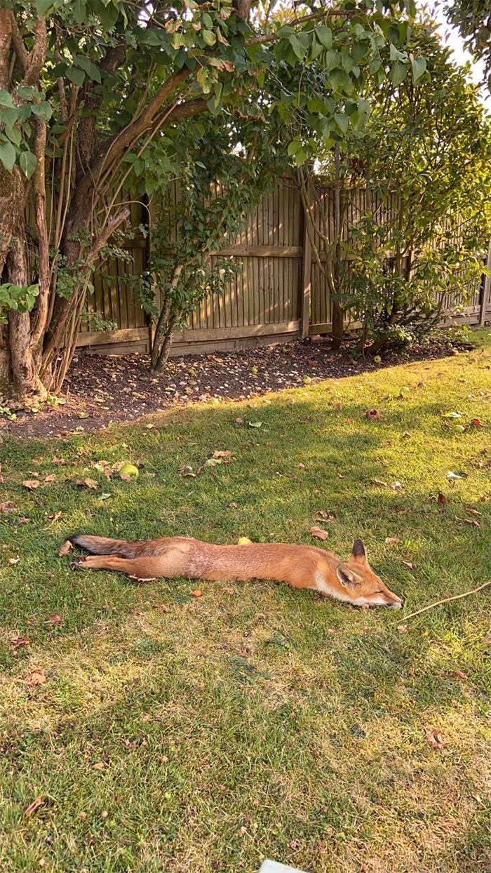 fox taking shade in the yard hot day