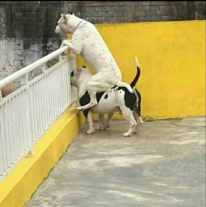 funny dog carrying another dog on its back
