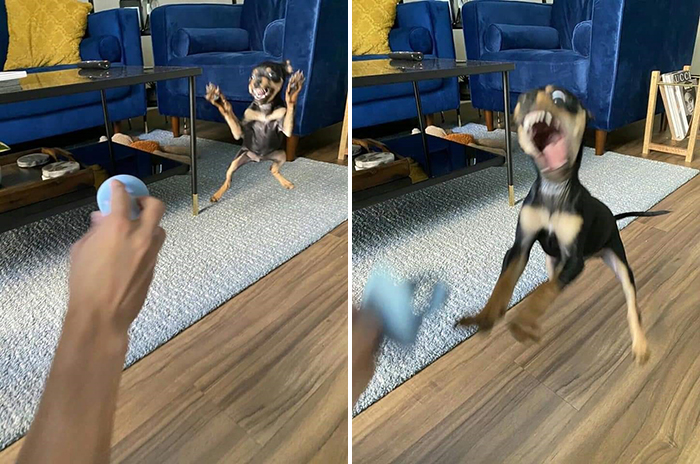 funny dog learning how to play fetch