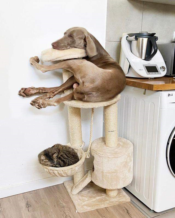 funny dog sleeping on cat scratching post