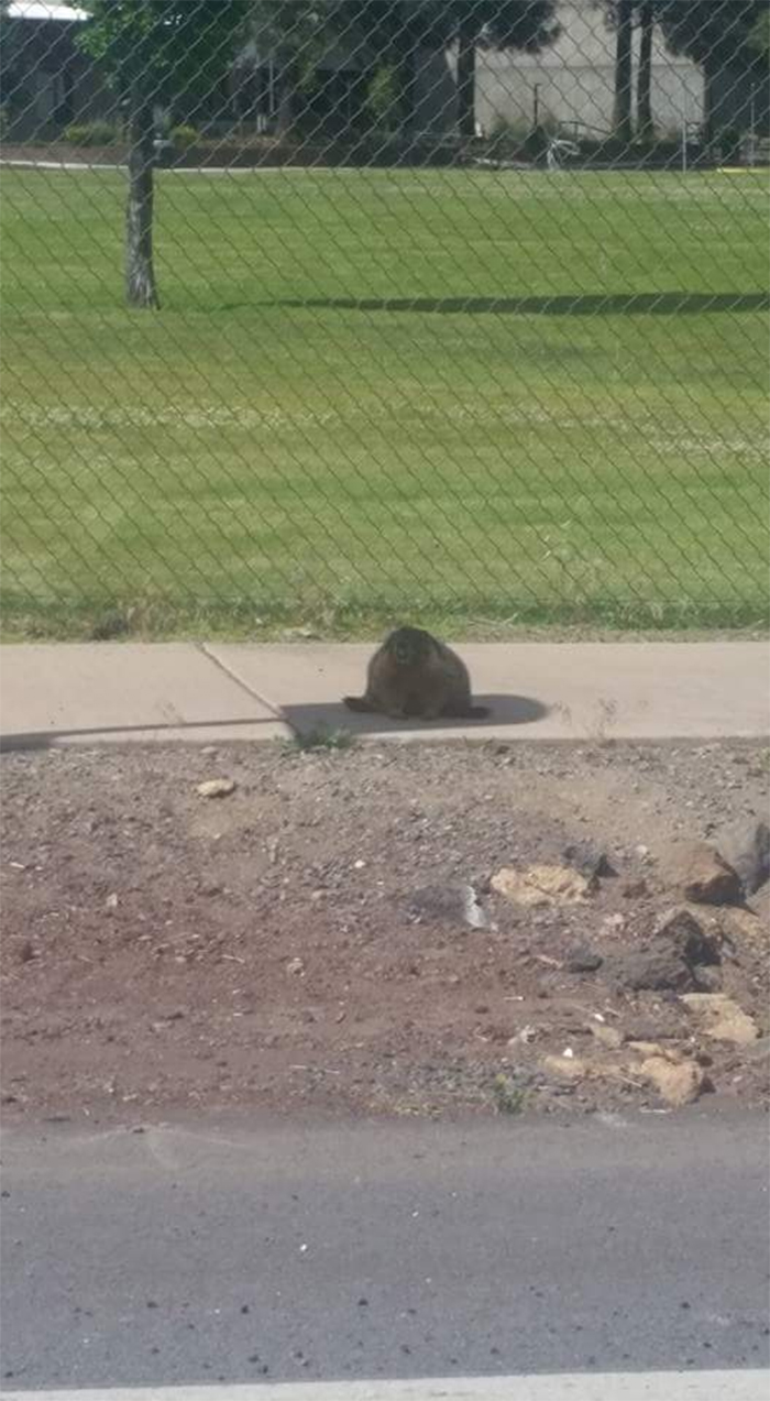 gopher taking shade on hot day