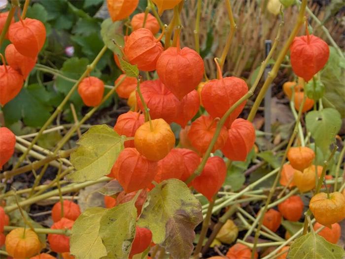 japanese lantern plants orange pods