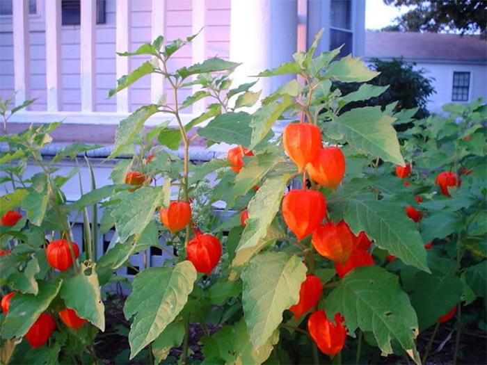 japanese lantern plants