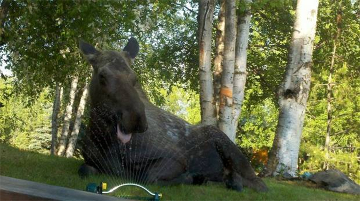 moose drinking form sprinklers