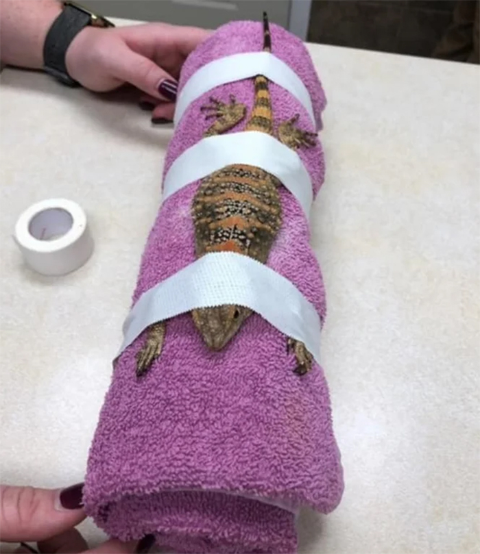 restrained lizard undergoes x-ray
