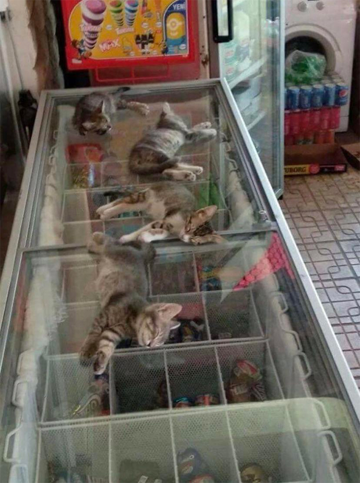 shop owner lets kittens cool down on top of freezer