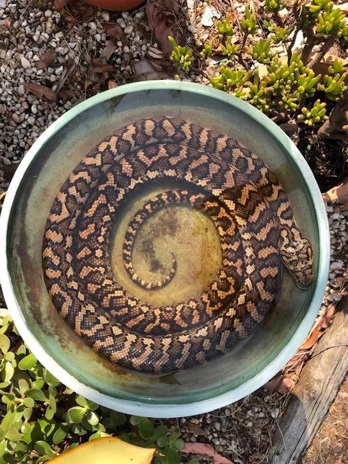 snake in bird bath hot day