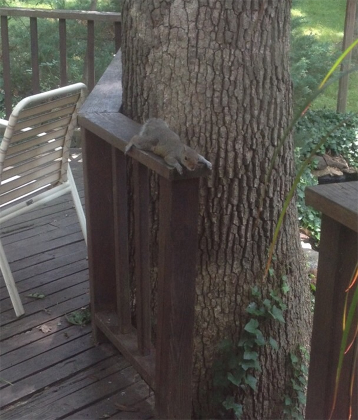squirrel taking a break on a hot day