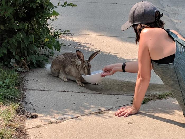 summer heatwaves thirsty wild jackrabbit