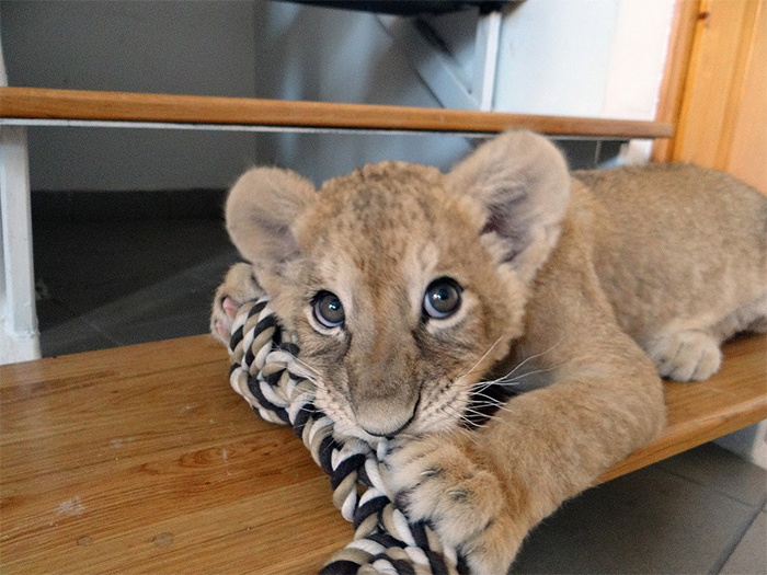 tiny lion cub at the vet