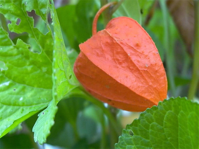 winter berries orange pod