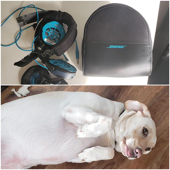 bose headphones destroyed by dog
