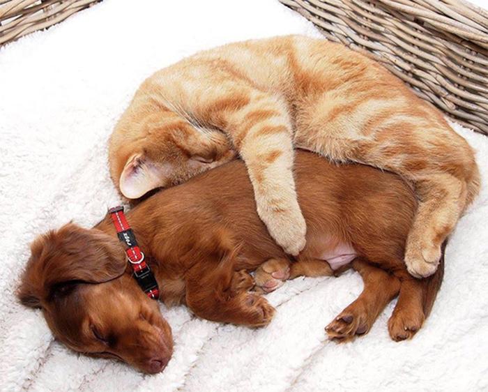 cats using dogs cuddling