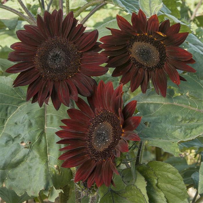chocolate sunflowers brown petals
