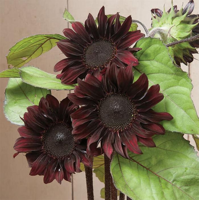 chocolate sunflowers burgundy petals