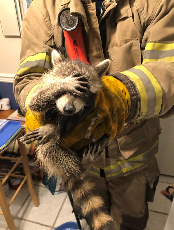 embarrassed raccoon rescued by firefighters