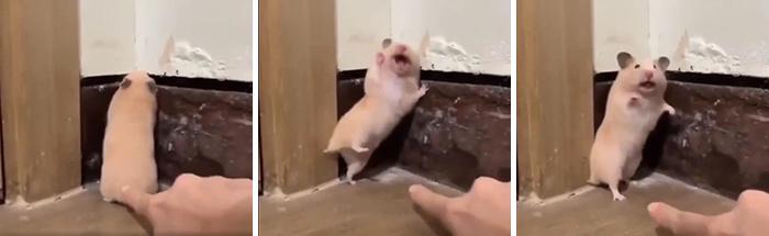 hamster startled by owner
