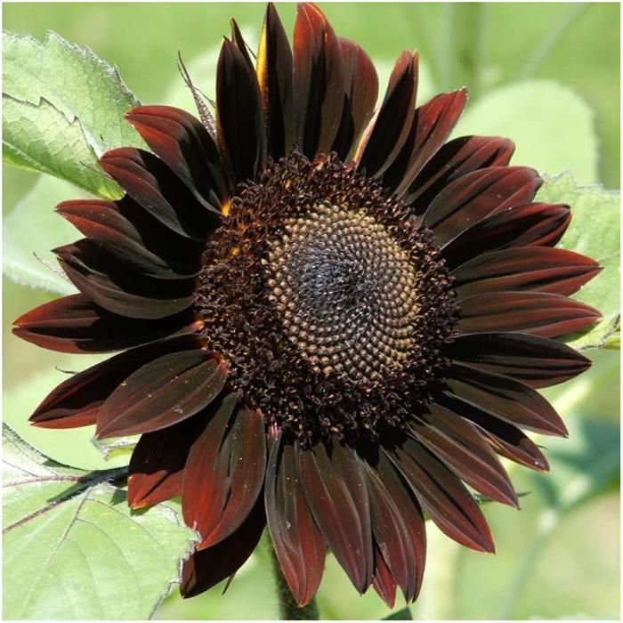 helianthus annuus dark colored hybrid