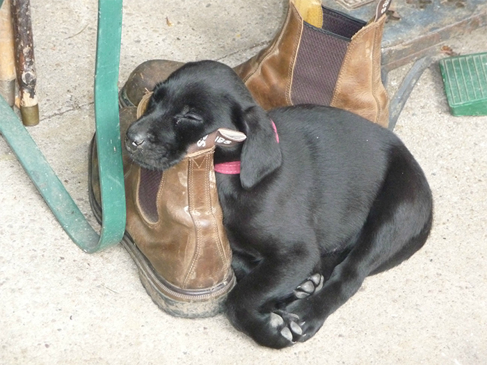 lab puppy napping on workboots
