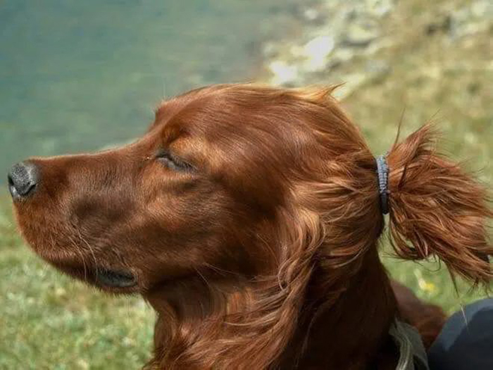 pet dog with ponytail