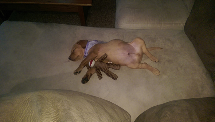 pup sleeps with toy