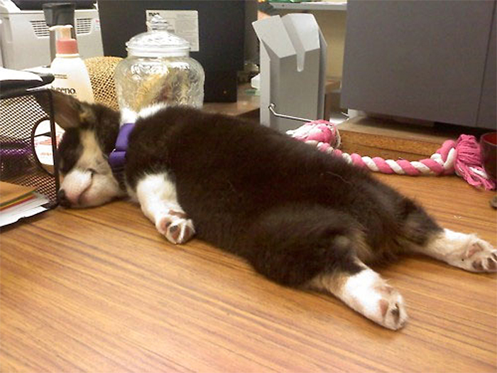 puppies sleeping in superman position