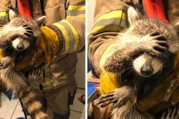 rescued raccoon