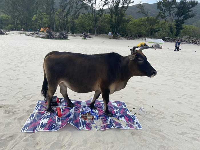 things gone wrong cattle on picnic blanket