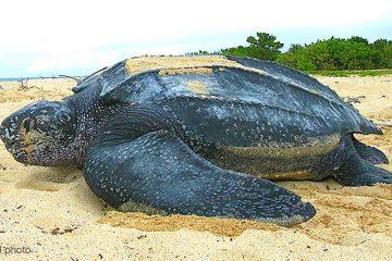 worlds biggest sea turtle