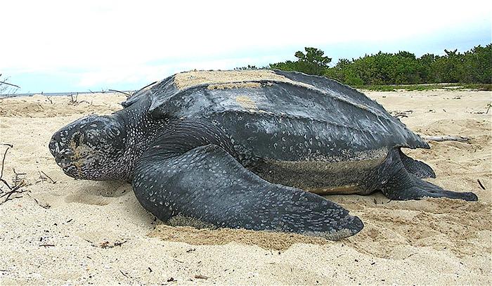 worlds largest sea turtle leatherback
