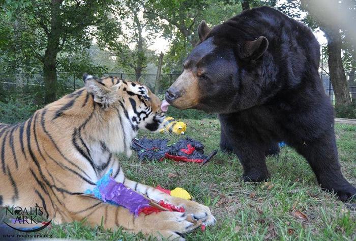 bear lion tiger friendship