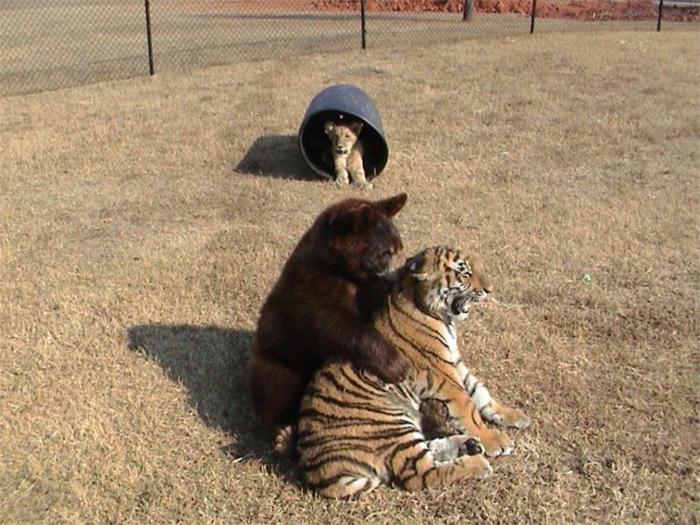 bear lion tiger unique friendship