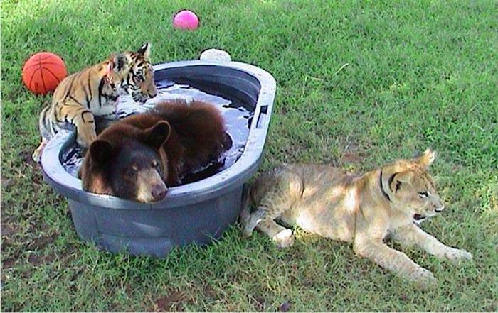 bear lion tiger unlikely friendship