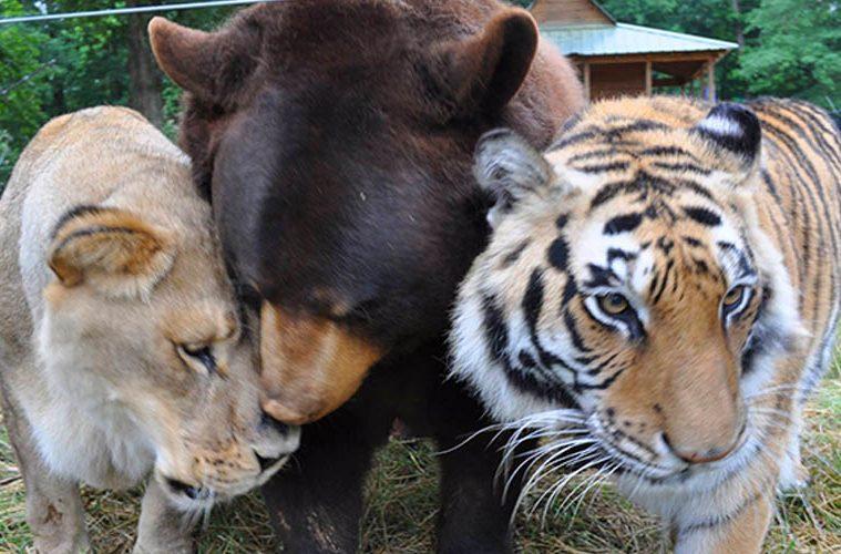 lion bear tiger friends