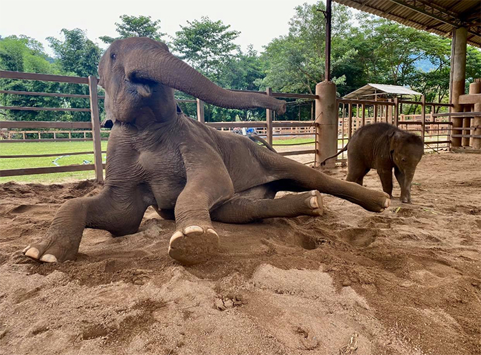 mom bunma and baby elephant chaba playing in sand
