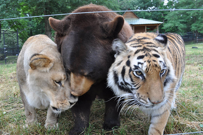rescued bear lion tiger friends
