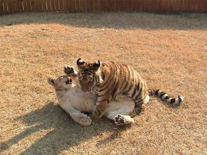 rescued bear lion tiger friendship