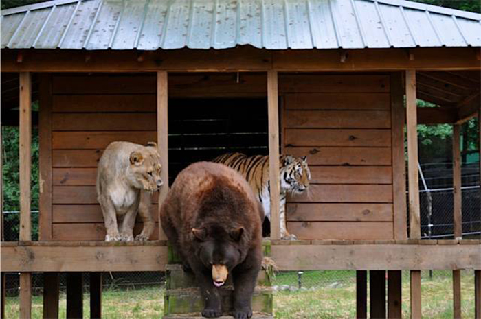 rescued bear lion tiger unlikely friendship