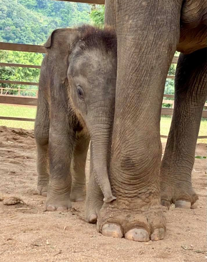 thailand rescued mom and baby elephant